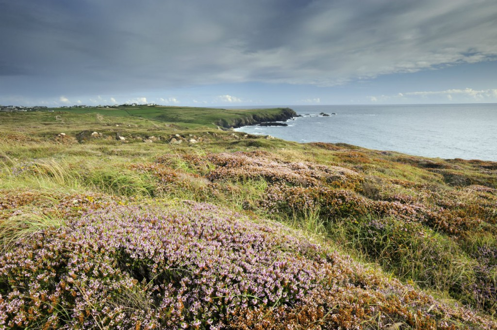 Maritime heather, (Erica vagans) in flower in August and view of Cornish coastline from Kynance Cove, The Lizard, Cornwall. Copyright National Trust.